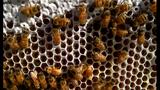 Kỳ diệu tổ ong tự động thu hoạch mật ong