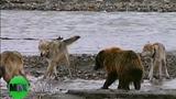 Cảnh gấu liều lĩnh giành thức ăn với bầy sói hiếm có