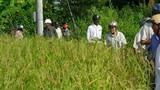 Giải mã thành công gen lúa cổ Việt Nam