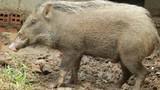 Biến lợn rừng thành lợn nhà
