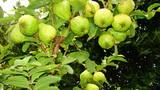 Siêng tỉa cành, cây cho nhiều quả