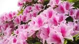 Bài thuốc trị bệnh phụ nữ từ hoa đỗ quyên