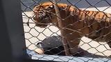 Rùng mình cảnh hổ vồ chết nhân viên sở thú ở Trung Quốc