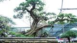 Ngắm cây sơ ri cổ thụ 100 năm tuổi, giá 500 triệu ở TP.HCM