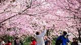 Đắm mình trước cảnh sắc hoa anh đào nở rộ khắp thế giới