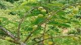 Quả mọc hoang đầy rừng, giờ 'lên đời' có giá nửa triệu đồng/kg