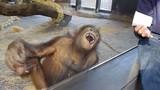 Clip chú khỉ cười trẹo quai hàm khi xem ảo thuật