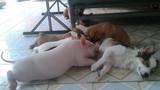 Kỳ lạ lợn bú sữa chó mẹ và chuyện không thể tin nổi trên facebook