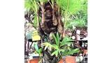 Bí mật về cây dừa lạ có đến 38 đọt