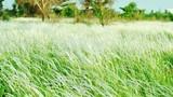 Chùm ảnh: Cánh đồng cỏ lau đẹp như tranh giữa Sài Gòn