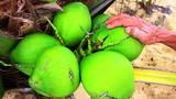 """8.000 đồng/ trái, dừa xiêm lùn da xanh ở Bình Định """"cháy"""" hàng"""