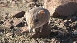 Điều bất ngờ về loài chuột có họ hàng với voi châu Phi