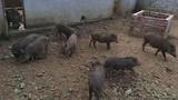 Người Hà Nội đặt nuôi lợn rừng online ăn Tết