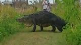 Cá sấu khổng lồ thản nhiên băng qua đường ở Florida