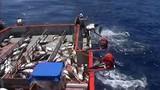 """Choáng màn câu cá ngừ """"siêu tốc"""" của ngư dân Australia"""