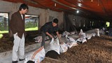 """Trang trại lợn rừng sạch """"khủng"""" 12.000 con ở Hà Nội"""