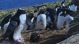 """Chim cánh cụt gián điệp """"rơi đầu"""" kinh hãi và cái kết hài hước"""