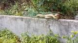 Bẫy được rắn ráo khủng tại nghĩa địa ở Bắc Ninh