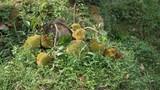 Kỳ lạ cây mít bị chặt vẫn đậu quả ở Nghệ An