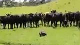 """Bật cười xem """"bò chạy theo xe đua"""""""