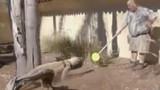 Cận cảnh huấn luyện rồng Komodo trong sở thú Mỹ
