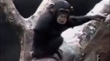 Hành động siêu khó đỡ của... khỉ con
