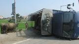 Lật xe tải, trâu bò rơi xuống đường chạy tán loạn