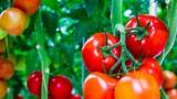 Mua cà chua chỉ cần nhìn vào 3 đặc điểm này biết ngay cà chua tươi ngon