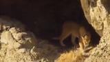 Video: Lần khám phá thế giới đầu tiên của đàn báo sư tử con
