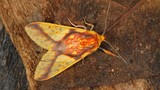Vẻ đẹp mỹ miều của loài bướm đêm ở Bolivia