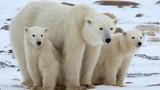 Không ngờ lông gấu Bắc Cực ẩn chứa nhiều điều thú vị đến vậy