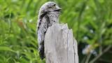 """Khâm phục loài chim mệnh danh """"bậc thầy ngụy trang"""""""