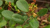 Khám phá bất ngờ về cây chòi mòi quen thuộc ở Việt Nam