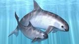 Khám phá thú vị cá heo chuột, có môi cong hấp dẫn