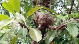 """Sự thật """"choáng"""" về cây bí kỳ nam có ở Việt Nam"""