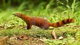 """Độc đáo loài cầy có đuôi lạ không tưởng, """"khoái"""" ăn rắn kịch độc"""