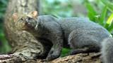 """Khám phá """"choáng"""" loài mèo ăn tạp, thích sống... trên cây"""
