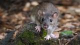 """Sự thực bất ngờ về loài chuột cống, """"đặc sản"""" ở Việt Nam"""
