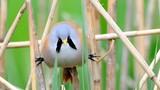 Loài chim kỳ lạ có khuôn mặt như đang khóc nhưng làm xiếc siêu đẳng