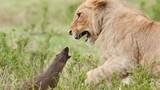 Kết quả bất ngờ cuộc chiến lì lợm giữa cầy mangut và bầy sư tử