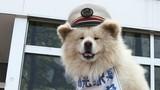 Nhìn lại cuộc đời chú chó trưởng ga tàu Nhật Bản vừa qua đời