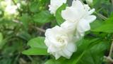 Cho hoa nhài vào 3 món này, miệng thơm tho đến tận hôm sau
