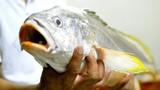 Ùn ùn kéo đến xem cá sủ vàng tiền tỷ bị cắn câu