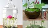 Mách bạn những cách trồng hoa sen độc lạ, đơn giản