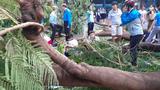 """Hà Nội rà soát, """"thăm khám"""" và xử lý những cây xanh trong các trường học"""