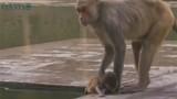 Xúc động clip khỉ mẹ lặng người ôm xác con chết đuối