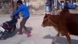 Bò tót xổng chuồng điên cuồng truy đuổi xe máy