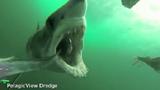 Cận cảnh cú đớp mồi kinh hoàng của cá mập