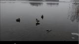 """Video: Pha """"đạp phanh"""" trên mặt hồ băng của vịt trời"""