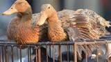Dịch cúm gia cầm H7N9 bùng phát trở lại tại Trung Quốc